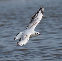 Oare 30.03.19 B H gull flying