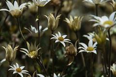 flowers (Greg M Rohan) Tags: blooming bloom spring flowers flower plants garden nature d750 2018 nikon nikkor