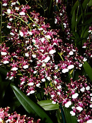 """""""Orchids of the Enchanted Forest"""" show & sale, Oncidium AKA Baby 'Raspberry Chocolate' hybrid orchid 2-19 (nolehace) Tags: winter nolehace sanfrancisco fz1000 219 2019 pacificorchidexposition poe sfos countyfairbuilding goldengatepark orchidsoftheenchantedforest forest enchanted oncidium aka baby raspberry chocolate hybrid orchid cultivar flower bloom plant galapreviewparty gala preview party"""