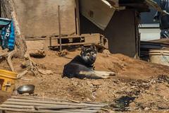 Guard Dog (Charlie Lee.) Tags: korea republicofkorea 대한민국 한국 canon 7dmarkii 캐논 paju 파주 문산 문산읍 munsan southkorea dog 개 시골 countryside