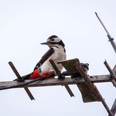 Look what I found pecking at my TV aerial, A naughty great spotted woodpecker. · · · · · #wildlife #redbelliedwoodpecker #woodpeckerpavilion #woodpeckercoffee #birding #woodpeckerproject #woodpeckerholes #woodpeckerjkt #woodpeckers #wildlifephotography #b (justin.photo.coe) Tags: ifttt instagram look what i found pecking tv aerial a naughty great spotted woodpecker · wildlife redbelliedwoodpecker woodpeckerpavilion woodpeckercoffee birding woodpeckerproject woodpeckerholes woodpeckerjkt woodpeckers wildlifephotography birdwatching birdsofinstagram woodpeckertrail woodpeckerstudio woodywoodpecker birdphotography downywoodpecker bird woodpeckerrally naturephotography woodpeckerhill birds nature woodpeckersofinstagram instagood woodpeckertattoo pileatedwoodpecker justinphotocoe
