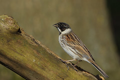 K32P2237c Reed Bunting, Barnwell C.P., March 2019 (bobchappell55) Tags: barnwellcountrypark northamptonshire wild wildlife nature bird reedbunting emberizaschoeniclus woodland