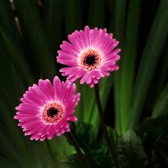Gerbera Daiseys (kinglear55) Tags: film gerbera daisey olympus om2n art photography adobe elements kodakcolorplus200 flower