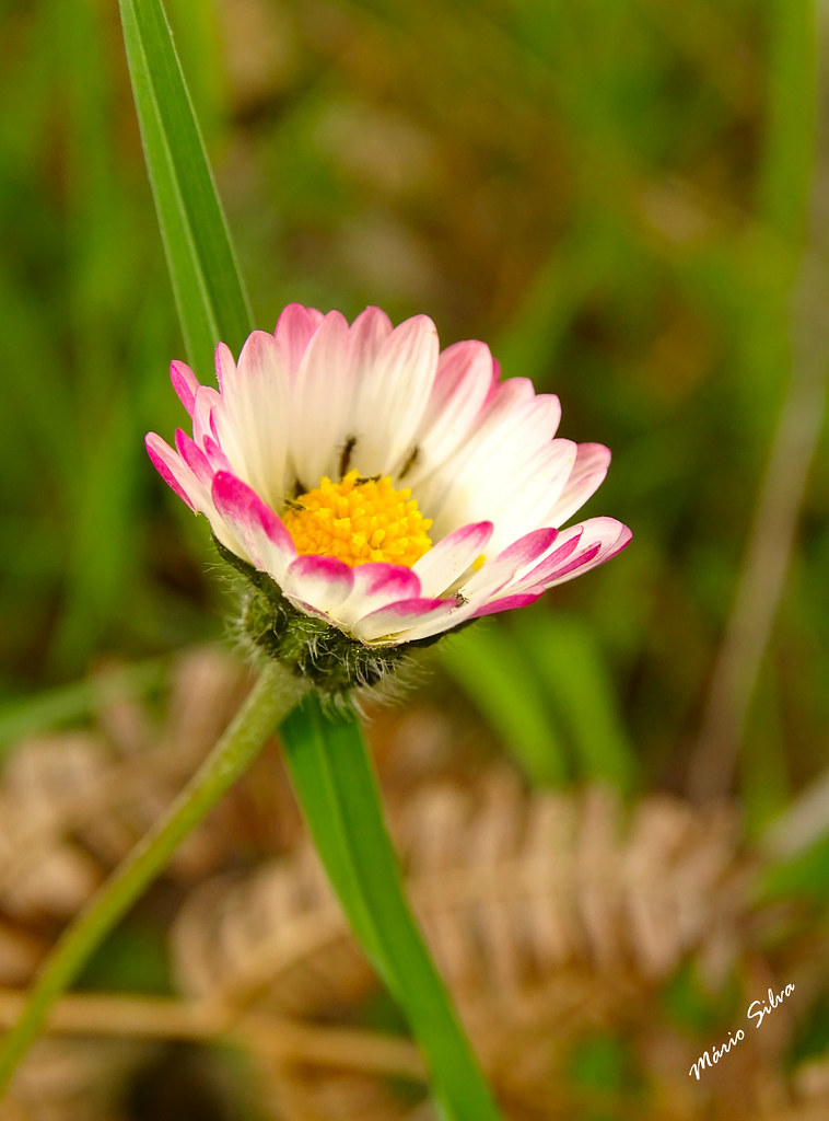 Águas Frias (Chaves) - ... flor campestre - margarida vulgar (Bellis perennis) ..