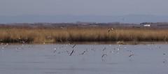 Mouette rieuse - IMB_7845 (6franc6) Tags: réserve scamandre mars 2019 occitanie languedoc gard 30 petitecamargue 6franc6 vélo kalkoff vae