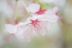 cherry spring light (koaxial) Tags: f4101332a cherry blossom light licht pastel colors soft weich blume flower blüte kirschblüte hanami april 2019