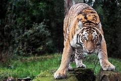 Wild lady (Anja Anlauf) Tags: tiger sibirisch weiblich bedroht groskatze raubtier raubkatze tier natur säugetier jung