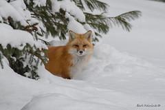 About time... (Earl Reinink) Tags: fox animal winter snow earlreinink zoudoaadoa