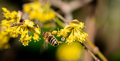 Bee at Work 3 (UpsNClowns) Tags: bee biene makro macro sony sel90m28g spring frühling arbeit work animal tier insekt insect yellow gelb a7rii