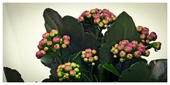 Green (Pepenera) Tags: verde green flower fiore flowers fleur flor foglia