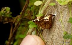 Golden chrysalis of Glasswing Butterfly, Nymphalidae, Danainae, Ithomiini (Ecuador Megadiverso) Tags: andreaskay butterfly chrysalis ecuador gold jardinbotanicolasorquideas glasswing nymphalidae danainae ithomiini