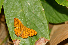 Chersonia risa ssp. risa - Chiang Dao_20180203_1515_DSC_7894_DxO (I love comments but delete awards - Jan F. Rasmuss) Tags: cyrestinae chiangmai chiangmaiprovince chiang chiangdao nymphalidae nymphalid nymphalids thailand d800 butterfly butterflies macro closeup insecta lepidoptera rhopalocera nikon janfischerrasmussen janfrasmussen asia southeastasia 2018 chersoniarisassprisa chersoniarisa chersonia risa