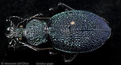 Carabus gigas (achrntatrps) Tags: laufkäfer coleoptera coléoptères beetles käfer insect insecte insekten bug macro alexandredellolivo dellolivo photographe photographer nikon achrntatrps achrnt atrps radon200226 radon nikkormicro105mmf28 sb700 sb900 d850 carabusgigas procerusgigas focusstacking