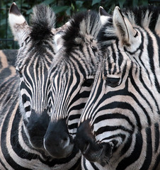 zebra Blijdorp 094A0345 (j.a.kok) Tags: zebra animal africa mammal zoogdier dier herbivore blijdorp
