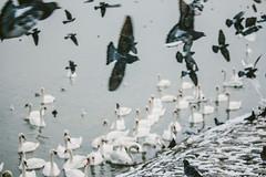 Birds (freyavev) Tags: birds belgrade beograd serbia srbija zemun zemunskikej quay danube dunav swans vsco telephoto flying moody canon canon700d mikasniftyfifty outdoor nature
