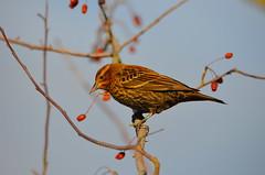 Female Red-winged Blackbird (Neal D) Tags: bc delta westhamisland georgecreifelmigratorybirdsanctuary bird blackbird redwingedblackbird agelaiusphoeniceus