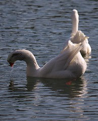 Oche. Geese. (giuselogra) Tags: oche geese birds bird animali animals fauna fiumepo piedmont piemonte italy italia torino turin x
