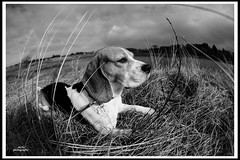 Chester Sola Strand 2019 (adi_stoica2001) Tags: minolta sony sonya7m2 minoltamcrokkor16mmfisheye dog chester manual monochrome blackandwhite beagle solastrand norway norge