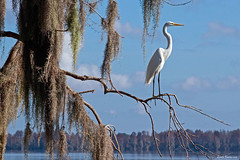 Great Egret (Wonder Woman !) Tags: greategret casmerodiusalbus bird ngc circlebbarreserve florida lakehancock swamp spanishmoss