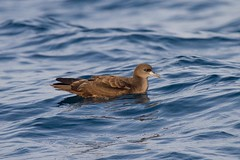 Ardenna pacifica 4 (Manning and Hastings Birds) Tags: pelagic birds macleay valley south west rocks nsw barry m ralley barrymralley ardenna pacifica wedgetailed shearwater