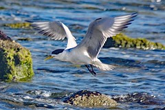 Tern (Uhlenhorst) Tags: 2018 australia australien animals tiere birds vögel travel reisen