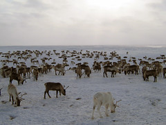 Reindeers on a yagelny pasture (Cascadevacationrentals) Tags: group reindeer snow russia cold caribou north grazing mammal white zoology rock brown horizontal kamchatka deer valley walking tundra horned winter mountain outdoors arctic barren nature eating herd animal landscape hoofed stone wildernessarea animalsinthewild nomadic snowfield wildanimals nubbin animalshunting horn bare wildlife northern nonurbanscene hunt rocky wilderness nomadicpeople natural terrain