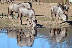 wildebeast Burgerszoo 094A0571 (j.a.kok) Tags: animal africa afrika antilope wildebeast gnoe gnu mammal zoogdier dier herbivore burgerszoo burgerzoo