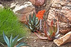 Aloe striata (Monkeystyle3000) Tags: aloe striata orange