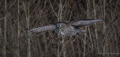 Great Gray Owl (Turk Images) Tags: borealforestedge greatgrayowl strixnebulosa alberta birds ggow owls strigidae winter banding