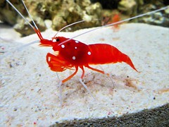 Red Fire Shrimp (olwynam1) Tags: shrimp redfireshrimp water nature wildlife underwater sealife marinelife blueplanetaquarium