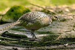 Female Pheasant (pollylew) Tags: pheasant ringneckedpheasant