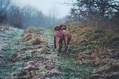 Dolly & Daisy (TulsaQueen) Tags: rhodesian ridgeback