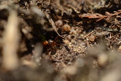 Ant (Roloff) Tags: westerheide laren hilversum heide macro ant mier nikonbr2reversering