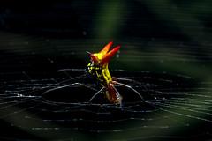 Micrathena sp. (FelipeToroFotografía) Tags: naturephotography spider micrathena arañas araña photographerlife colors photography macros macrophotograph macrophotographers macrophoto naturelove nature canon canon60d