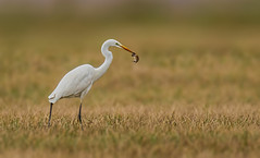 great white egret with mouse (hardy-gjK) Tags: bird vogel oiseau wildlife maus mouse prey beute la souris grande aigrette hardy nikon