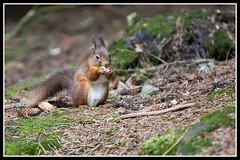 IMG_0050 Red Squirrel (Scotchjohnnie) Tags: redsquirrel sciurusvulgaris squirrel squirrelphotography mammal rodent wildanimal wildlife wildlifephotography wildandfree nature naturephotography canon canoneos canon7dmkii canonef70200mmf28lisiiusm scotchjohnnie