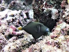 Sufflamen chrysopterum (kmlk2000) Tags: maldives vacation sea ocean sealife sun blue underwater fish poisson beach reef