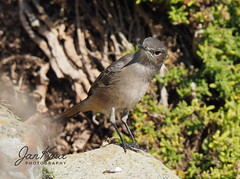 Familiar Chat (Jan-Krux Photography - thx for 5Mio+ views) Tags: familiarchat cercomelafamiliaris bird vogel capeofgoodhope kapdergutenhoffnung capepoint westerncape southafrica westkap suedafrika fauna animal tier olympus omd em1