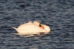 IMG_2469 (LezFoto) Tags: swan mute cygnusolor loirstonloch aberdeen scotland unitedkingdom canoneos700d sigma 700d canon 120400mmf4556dgapooshsm digitalslr dslr canonphotography sigmalens