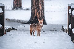 Yosemite Wiley Coyote! Fine Art Winter Photography Nikon D850 AF-S NIKKOR 28-300mm f/3.5-5.6G ED VR from Nikon Wildlife Coyote Winter Snow Fine Art! Nikon D850 Yosemite National Park Winter Snow California Landscape Photography! High Res 4k 8K! (45SURF Hero's Odyssey Mythology Landscapes & Godde) Tags: yosemite fine art winter photography nikon d850 afs nikkor 28300mm f3556g ed vr from wildlife coyote snow national park california landscape high res 4k 8k elliot mcgucken wiley