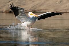 Touchdown 6434 (maguire33@verizon.net) Tags: americanwhitepelican pelecanuserythrorhynchos pradoregionalpark whitepelican bird breedingadult pelican wetlands wildlife chino california unitedstatesofamerica us