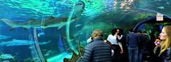 People looking at sharks (Will S.) Tags: fish sharks people aquarium mypics toronto ontario canada ripleysaquariumofcanada