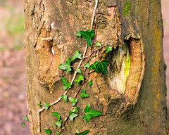 Creeping (UnarmedShooter) Tags: tree ivy wood w witch spooky creepy