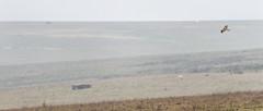 Red Kite, Curves, and Hulks (stevedewey2000) Tags: salisburyplain wiltshire landscape tamron150600 2351 sptacentre spta birds bird redkite hawk bop birdofprey