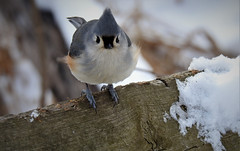 Tufted titmouse (markfesh) Tags: kensington metropark titmouse tufted bird winter snow wood