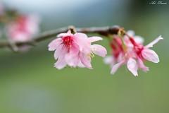 _01A5087 (Arthur's Dream (Dreamer:Thanks for +7.556.000 v) Tags: nature green flower cherry blosssom natureinfocusgroup