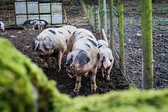 Anglų lietuvių žodynas. Žodis pig-farming reiškia kiaulininkystė lietuviškai.