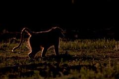 Baboon (Thomas Retterath) Tags: khwai afrika africa botswana okavangodelta nopeople safari 2018 natur nature thomasretterath wildlife olivebaboon anubispavian baboon pavian affen säugetier mammals animals tiere papioanubis rimshot