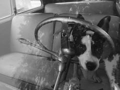 Chevy in the Chevy (El Cheech) Tags: ears blackandwhite classic hotrod lowrider deluxe shifter blackandwhitephotography stuck classiccar chevrolet dogdriving steeringwheel driving car mutt pitbull dog chevy