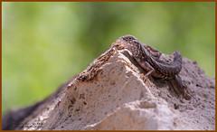 (EXPLORED) Greater Earless Lizard ©Dancing Snake Nature Photography (Dancing Snake Nature Photography) Tags: arizona nature photography dancingsnakenaturephotography reptiles greaterearlesslizard superioraz